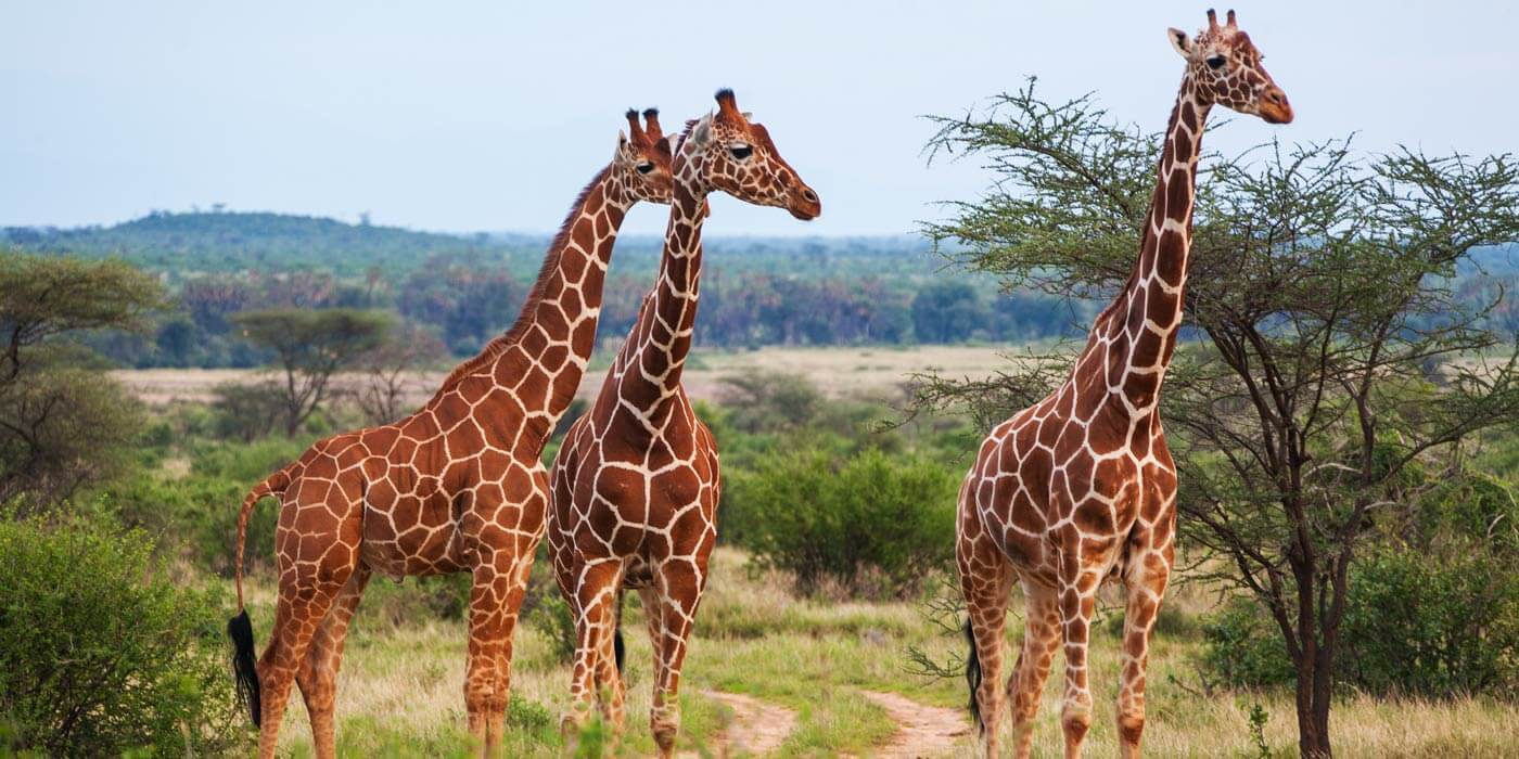 African Safari Vacation   Travel with Aitken Spence Holidays